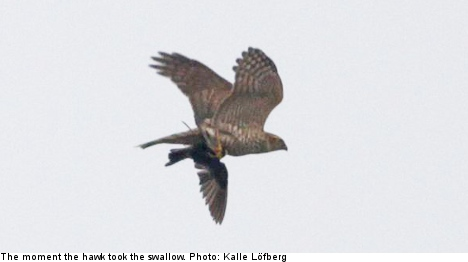 Swallow on one-off visit to Sweden killed by hawk