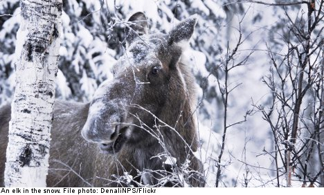 Swede reports elk to police after attack