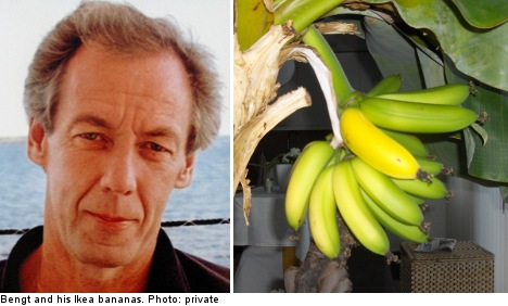 Ikea bananas sprout in Swede's living room