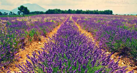 EU allergy laws target French lavender farmers