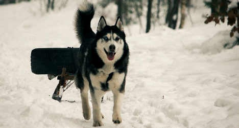 Dog sled team saved from icy lake