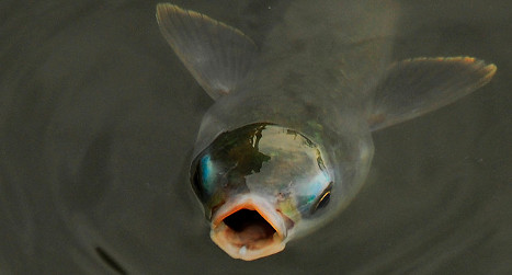Pollution feminizing Spain's male fish
