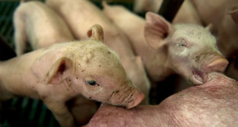 Infertility in Spanish pigs a 'warning' to humans