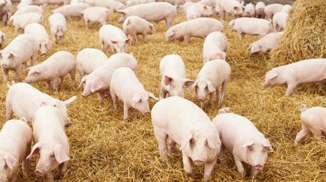 Man almost fed to pigs over drugs feud