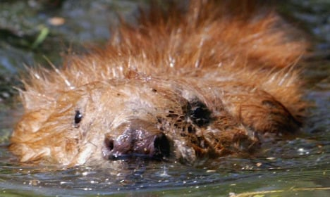 Swedish beaver knocks out power for thousands