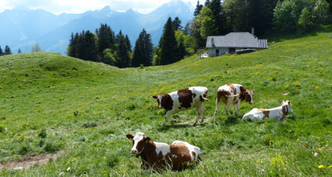 Cows trample German to death in Swiss Alps