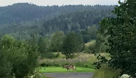 Wolf on course spoils Norway golfer's drive