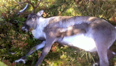 Norway vets stumped by mystery reindeer deaths