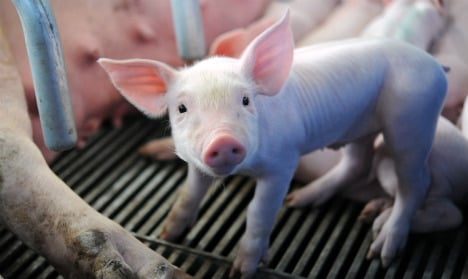 Farm workers squashed 72 piglets to death in sick video