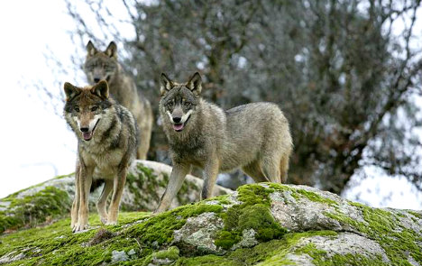 Wolf explosion in Liguria leads to calls for cull