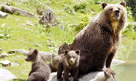 Mother bears use 'human shields' against killer males