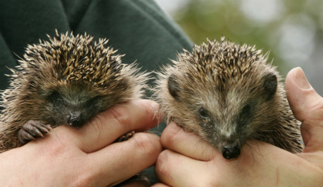 Prickly Bavarian calls out cops on hedgehogs' noisy sex