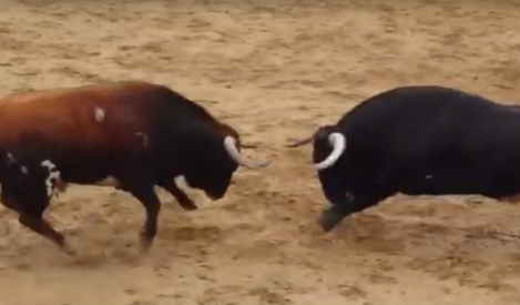 Two bulls drop dead after head-on collision in bullring