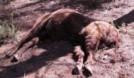 Wildlife ranger accused over decapitated bison in Valencia