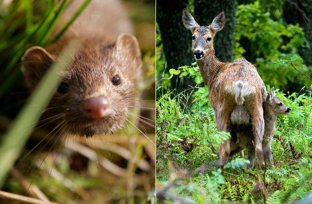 Police seize roe deer… no, sorry, a limping mink, in grocery store