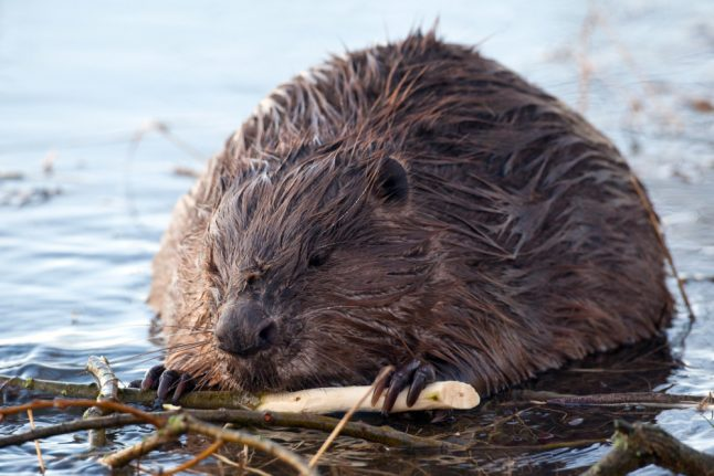 Why Bavarians are serving up beaver with their beer