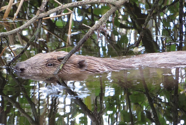 Swimmers warned after aggressive beaver attacks two in Swiss river