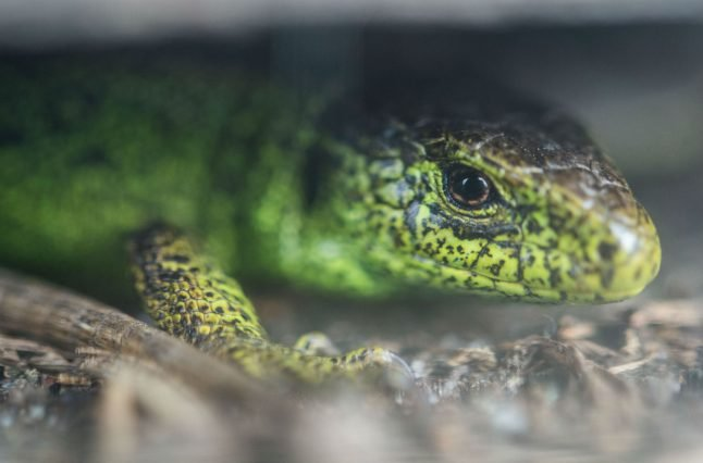 How rare lizards are holding up Stuttgart's fancy new rail system, at a cost of millions