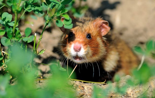 Construction on bypass in Bavaria stopped to let hamster sleep