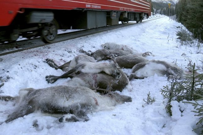 'Over 100' reindeer killed in days by Norway freight trains