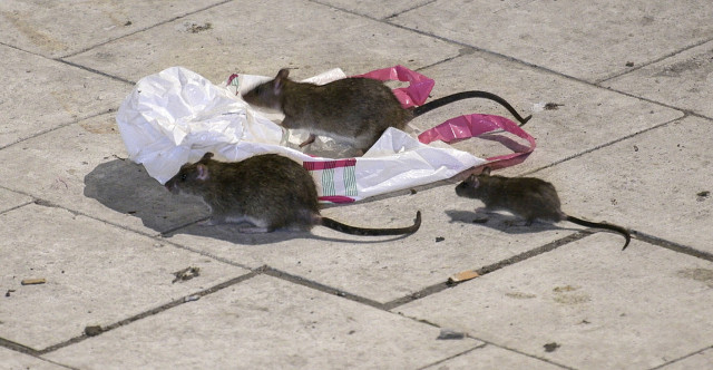 Rats rejoice as easy food helps Gothenburg's rodent population to surge