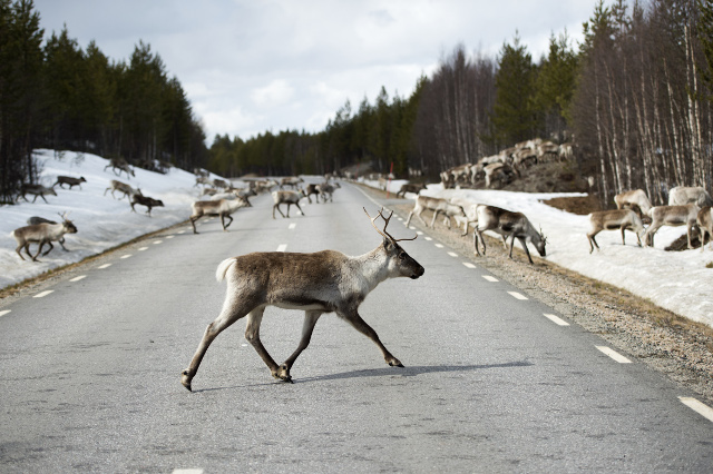 More than 400 reindeer killed in traffic so far this year