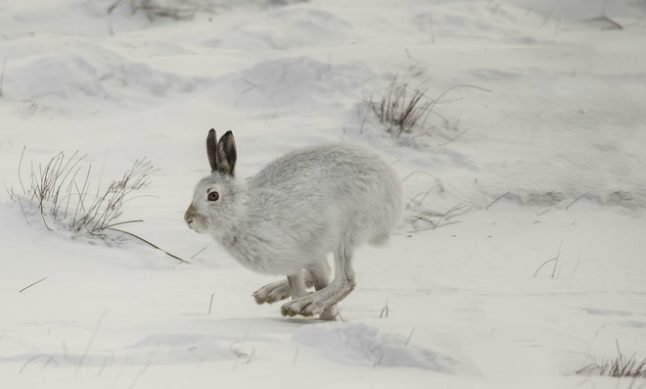 Swiss snow hares in climate change firing line: study