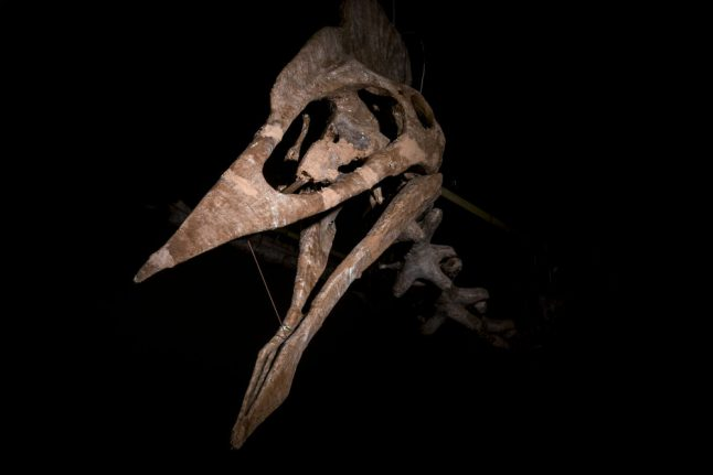 World's largest pterodactyl skeleton goes on show in Germany
