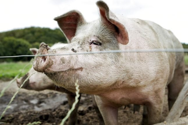 Denmark to build 70km border fence to keep out swine virus
