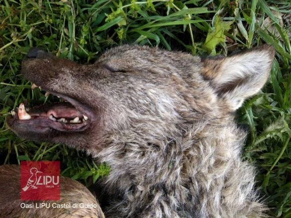 One of Rome's rare wolf cubs killed by hit-and-run driver