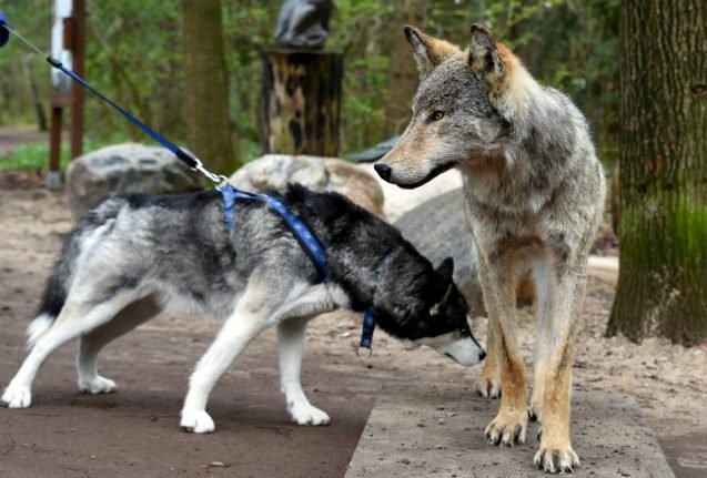 As wolf numbers rise, experts warn of danger of wolf-dog puppies