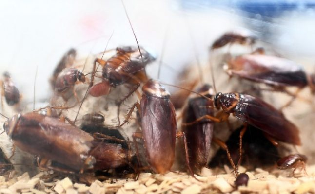 Spain set for summer cockroach plague after unusually wet spring