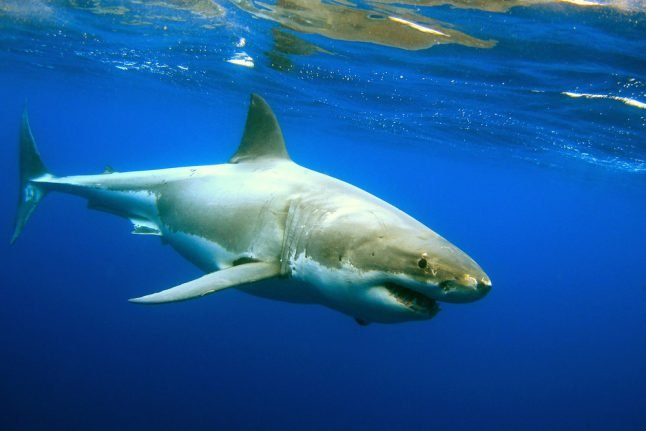 First great white spotted off Spain in decades