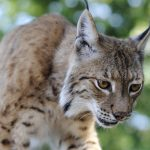 Rare lynx sightings in northern Italy excite naturalists