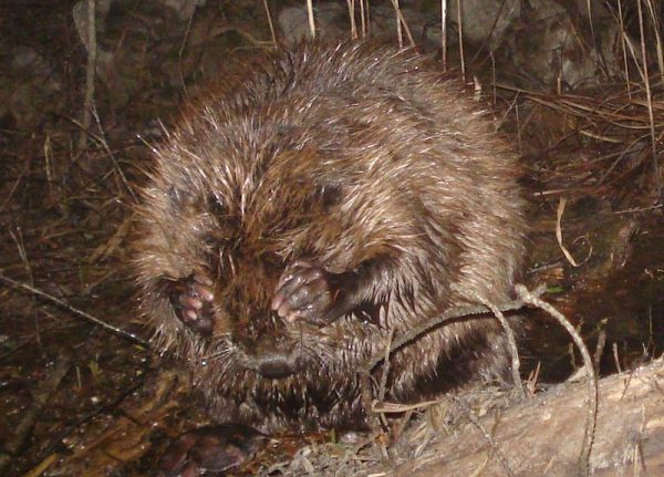 Beavers return to Italy after 450 years