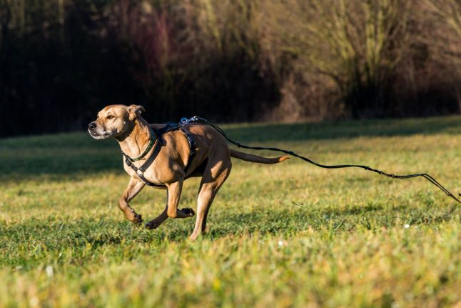 Attack dogs injure 81-year-old Danish woman