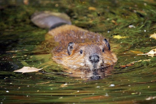 Dane loses to state in appeal case over beaver damage