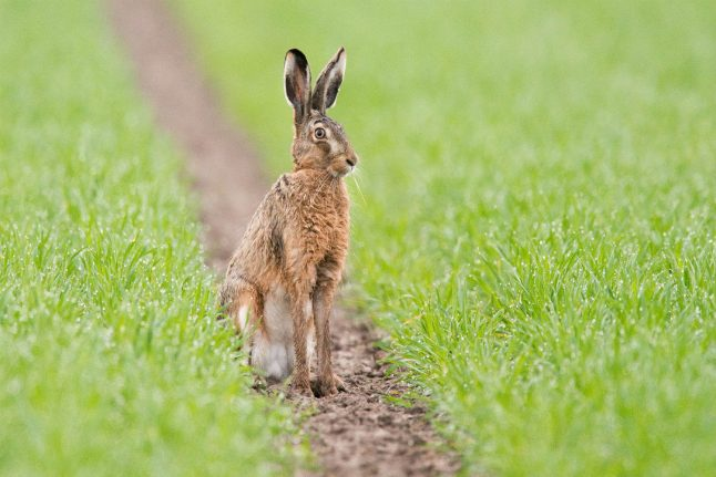 German word of the day: Der Osterhase