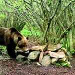 This horse-killing bear is causing 'lots of concern' in Spain and France