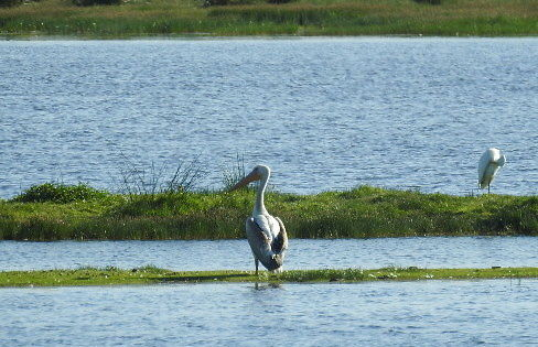 Wild pelican makes for unusual spectacle in Denmark