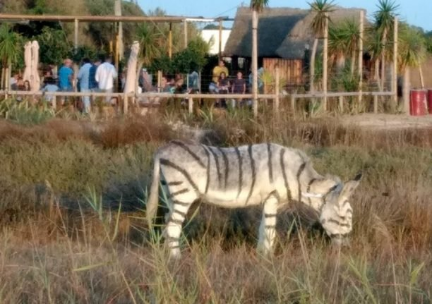 Animal abuse complaint after donkeys painted to look like zebras for safari themed party in southern Spain