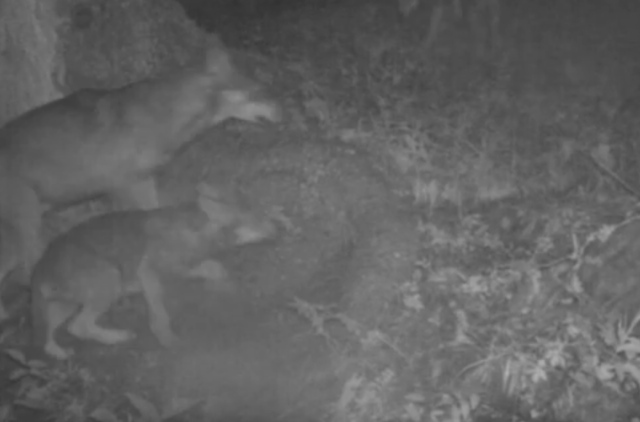 Camera traps uncover new wolf pack in Swiss canton of Valais