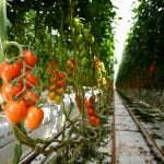 How an Italian farmer found a better way to grow tomatoes – without soil
