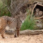 WARNING GRAPHIC IMAGES: Four Iberian lynx killed by hunters in central Spain
