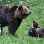 How elusive brown bears have become a tourist attraction in northern Spain