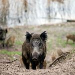 'Frozen' wild boar used to fake road crash in Italy