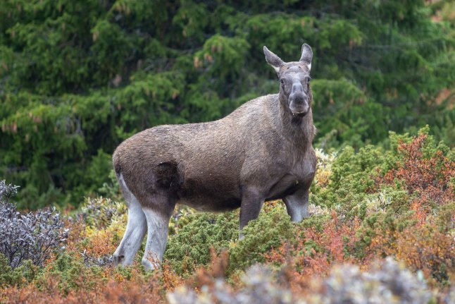 'Shoot aggressive elks tormenting town residents,' Swedish police order