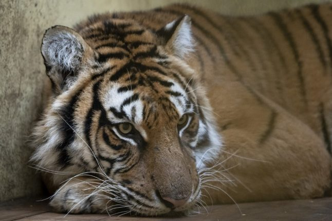 Rescued tigers leave for new home in Spain after gruelling journey that nearly killed them