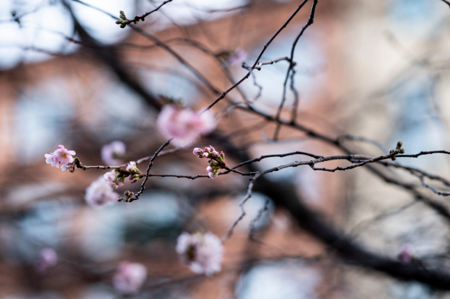Stockholm's cherry trees are in bloom – what happened to winter?