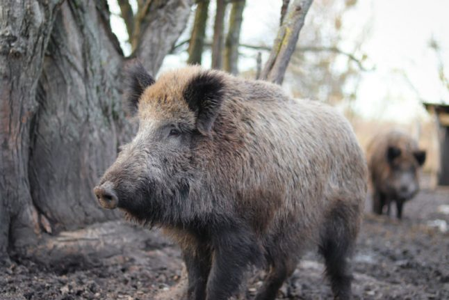 Life in Spain: There's so much more to Spanish cuisine than paella (such as wild boar!)